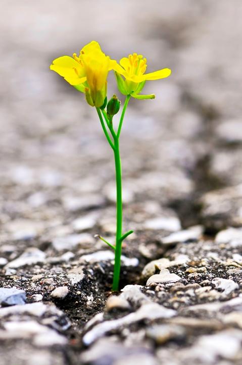Flower growing from crack in asphalt